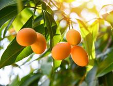 Plum Mango Tropical Fruit On T...