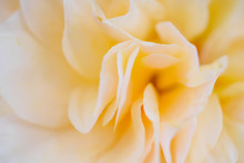 Rose Flower Closeup Abstract Background