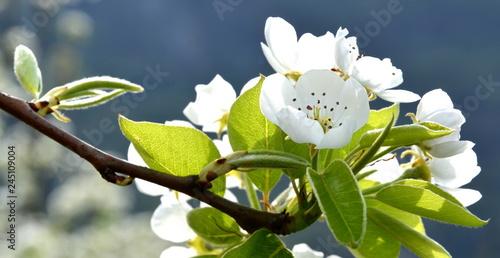 Birnbaumblüten im Gegenlicht