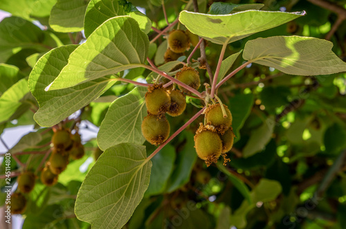 Photo Kiwi Fruit, Actinidia deliciosa