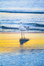 Seabird In Water At Sunset Of ...