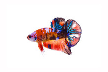 Fighting Fish / Betta Fish : Multicolor Siamese Fancy Fighting Fish (Koi Pattern Or Galaxy Pattern) Isolated On White Background.