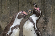 African Penguins Standing Toge...