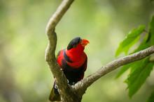 Black Capped Lory Bird On Tree...