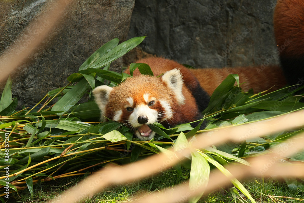 Red panda laying down and eating bamboo leaves