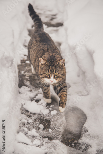 A big colorful cat walks through the snow Wall mural