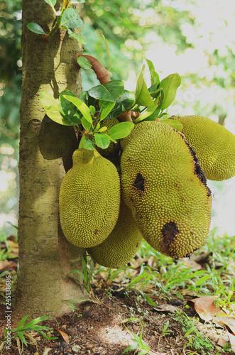Fotografie, Obraz  ripened jackfruits ready to be harvested