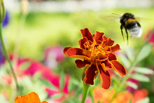 Big Beautiful Bumblebee Is Flying Towards The Flower Marigolds (Tagetes Erecta, Mexican Marigold, Aztec Marigold, African Marigold).