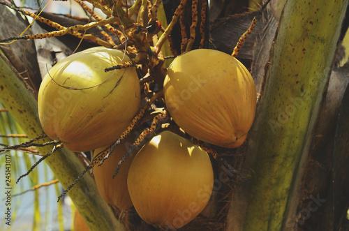 Fotografía  coconuts on its tree