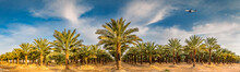 Panoramic Image With Plantation Of Date Palms, Image Depicts An Advanced Desert Agriculture In The Middle East.