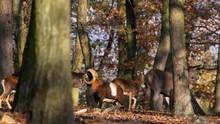 Red Deer (Cervus Elaphus) And Mouflon (Ovis Musimon) Group Running Away