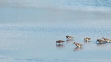 Piper Shore Birds Walking In W...