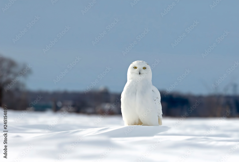 Snowy owl sitting in a sunny snow covered cornfield in winter in Ottawa, Canada