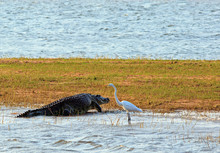 Crocodile And Great Egret On The Shoreline Of Lake Kariba. Matusadona National Park, Zimbabwe