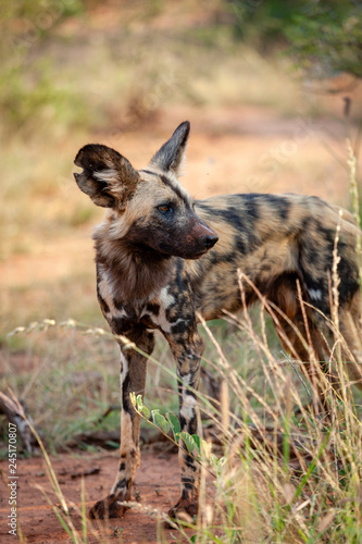 African wild dog (Lycaon pictus), aka, painted wolf, African hunting dog, Cape Hunting Dog or African painted dog Wallpaper Mural