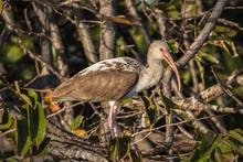 Young White Ibis (EUDOCIMUS Albus) In Brush