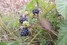 A Close-up Of Blackberry Black...