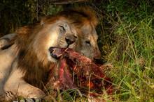 Lion (Panthera Leo) Feeding On...