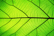 Rich green leaf texture see through symmetry vein structure, beautiful nature texture concept