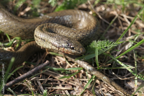 Fotografie, Obraz  smooth snake