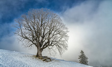 500 Years Old Sycamore Maple, Mountain Maple, In Winter, Allgaue Alps Near Oberstaufen, Bavaria, Germany