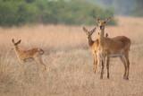 Fototapeta Sawanna - pasące się antylopy wśród wyschniętych traw wielkiej równiny afrykańskiej
