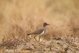 Fototapeta Sawanna - mały beżowy afrykański ptak wśród wyschniętych traw