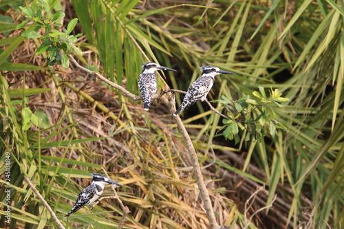 ptaki wikłacze siedzące w zaroślach na afrykańskiej sawannie