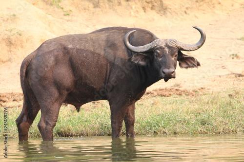samotny duży afrykański bawół w trawach