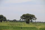 Fototapeta Sawanna - słoneczny dzień na zielonej afrykańskiej wielkiej równinie w parku serengeti