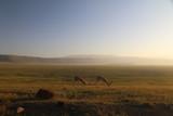 Fototapeta Sawanna - dwie samotne antylopy pasące się na wielkiej równinie afrykańskiej w parku serengeti o poranku