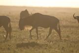 Fototapeta Sawanna - antylopy gnu w trawie w naturalnym środowisku o zachodzie słońca