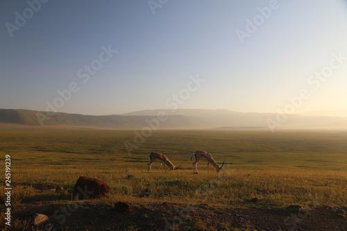dwie samotne antylopy pasące się na wielkiej równinie afrykańskiej w parku serengeti o poranku