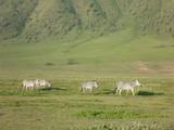 Fototapeta Sawanna - zebry z oddali na wielkiej afrykańskiej równinie w parku serengeti