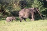 Fototapeta Sawanna - słonica z młodym słoniątkiem idąca pośród traw i drzew na afrykańskiej równinie serengeti