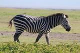 Fototapeta Sawanna - samotna zebra na tle afrykańskiej równiny serengeti
