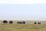 Fototapeta Sawanna - stado bawolów afrykańskich w parku serengeti z daleka