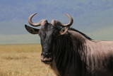 Fototapeta Sawanna - portret antylopy gnu w parku serengeti z bliska