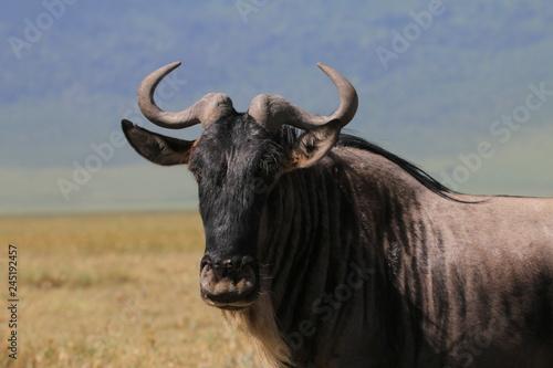 portret antylopy gnu w parku serengeti z bliska