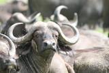 Fototapeta Sawanna - głowa bawoła afrykańskiego z dużymi rogami wystającego sponad stada