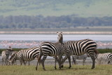 Fototapeta Sawanna - stado zebr wypasających się na równinie w naturalnym środowisku