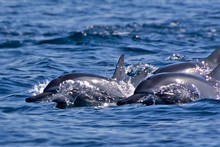 Group Of Bottlenose Dolphins S...