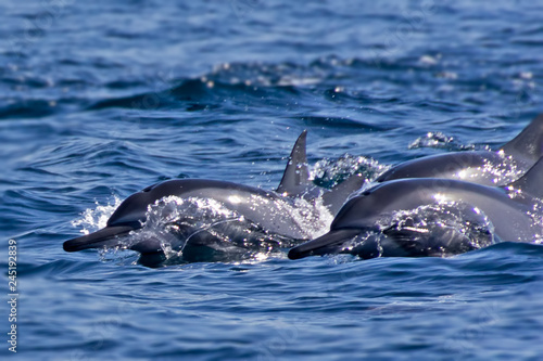 Stampa su Tela Group of bottlenose dolphins swimming in the fjords of Oman at Khasab