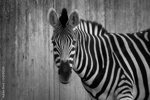 Poster Zebra Cebra monocromática
