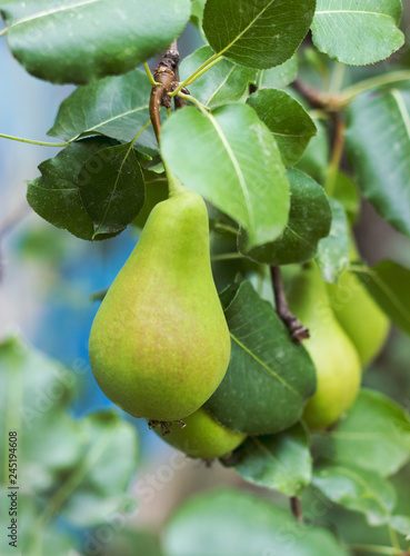 Pear tree branch full of fruits