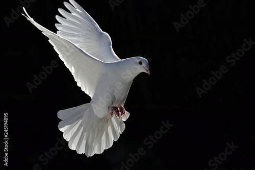 beyaz güvercin Fototapete
