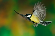 Close Up Of Great Tit Flying