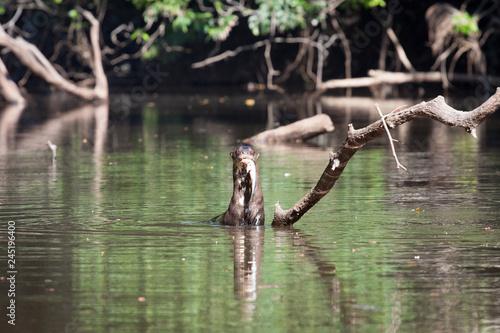 Платно  Riesenotter mit Fisch im Maul aus dem Amazonas in Südamerika