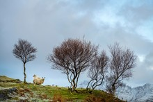 Sheep With Bare Trees Standing...