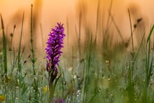 Broad-leaved Marsh Orchid (Dactylorhiza Majalis) In A Meadow In The Back Light In The Early Morning At Sunrise, Murnauer Moss, Murnau, Upper Bavaria, Germany, Europe